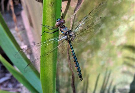Dragonfly-backyard
